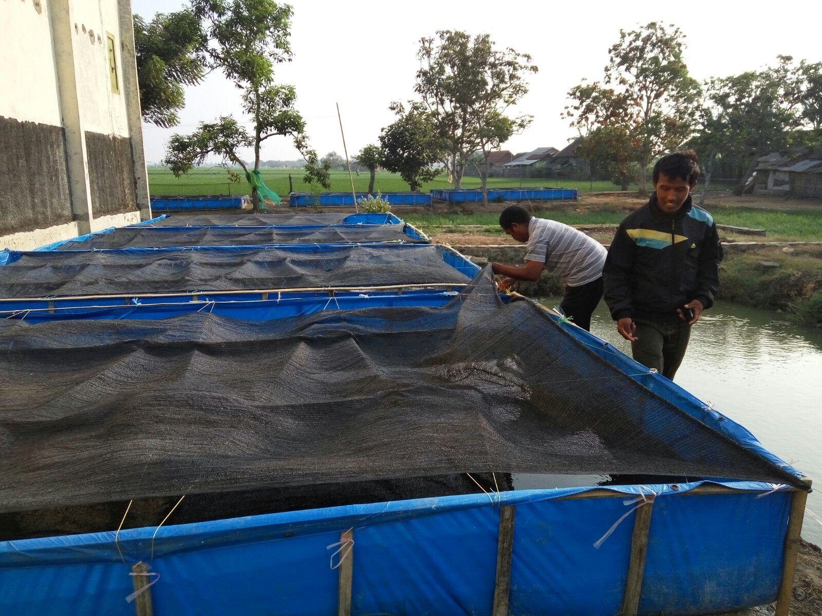 Lab Lapang Pembenihan Lele Karanglayung (1)